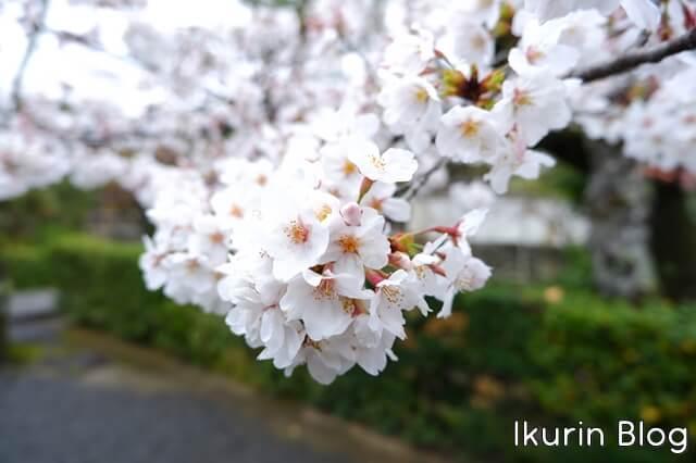 京都・嵐山の天龍寺サクラ写真 イクリンブログ