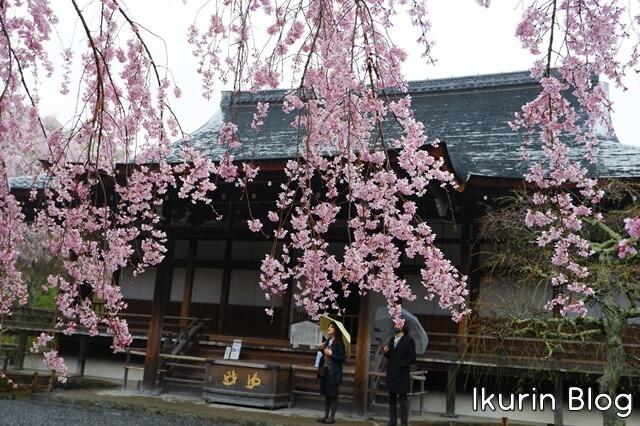 京都・嵐山の天龍寺の枝垂れ桜写真 イクリンブログ