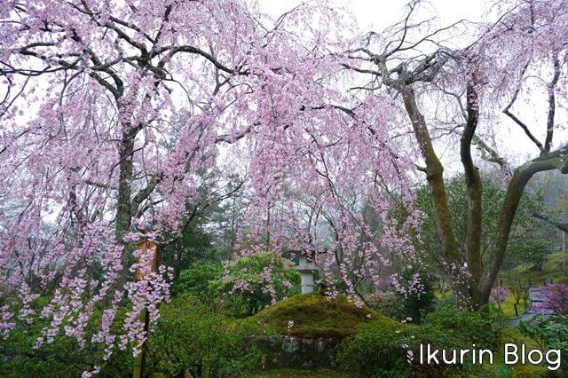 京都・嵐山の天龍寺の枝垂れ桜全体写真 イクリンブログ
