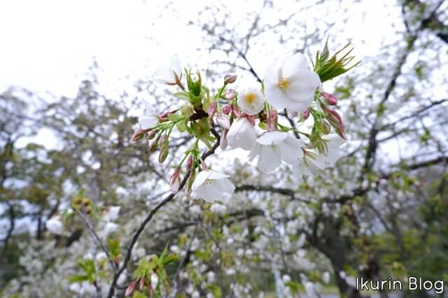 京都御苑 大島桜アップ写真画像 イクリンブログ