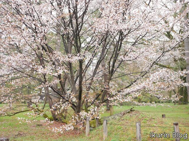 京都御苑 さくら松・学習院発祥の地 写真画像 イクリンブログ