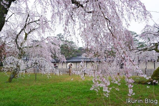 京都御苑 枝垂れ桜全体写真画像 イクリンブログ