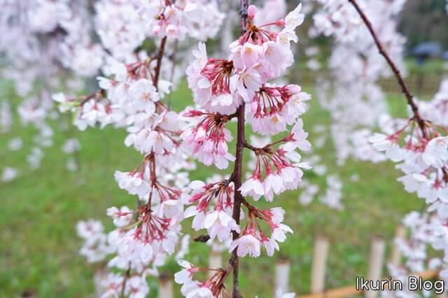 京都御苑 枝垂れ桜アップ写真画像 イクリンブログ