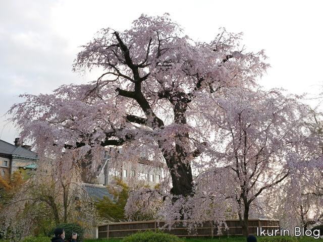 京都・円山公園「枝垂れ桜の写真」イクリンブログ