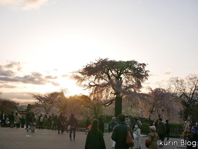 京都・円山公園「夕焼けとサクラ」イクリンブログ