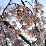 京都・円山公園「サクラの写真」イクリンブログ