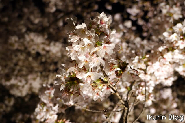 京都・東寺「夜桜」イクリンブログ
