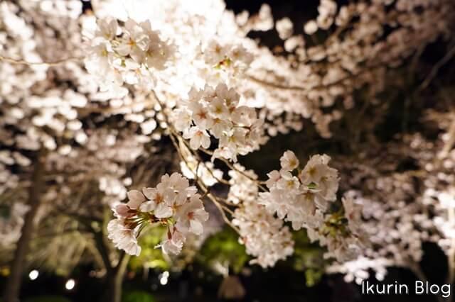 京都・東寺「夜桜2」イクリンブログ