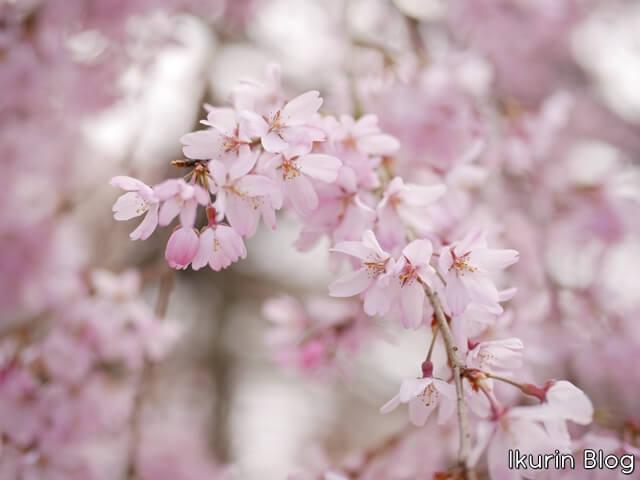 京都・清水寺「サクラ」イクリンブログ
