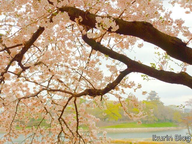 日本・岡山「サクラと岡山城」イクリンブログ