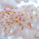 日本・岡山「サクラ」イクリンブログ