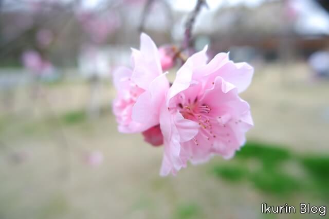大阪城公園「サクラのアップ」イクリンブログ