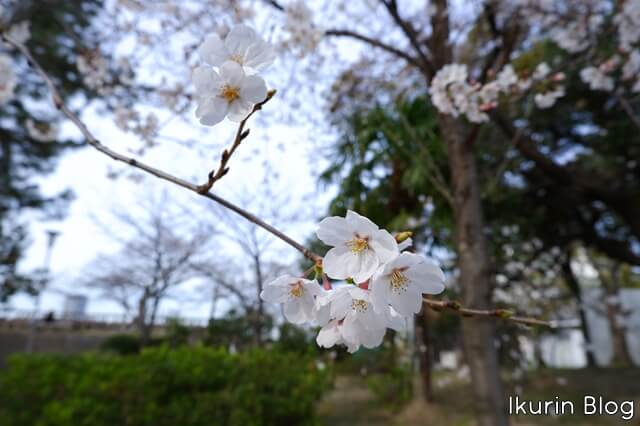 大阪城公園「染井吉野・サクラ」イクリンブログ