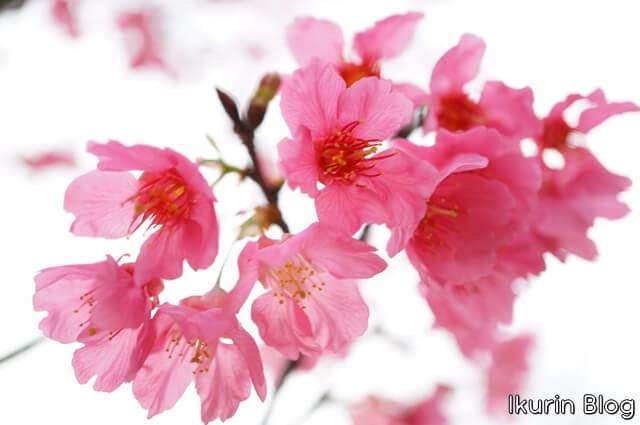 台湾・台北「台湾大学・緋寒桜」イクリンブログ